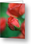 Flower Greeting Cards Greeting Cards - Rosebud  Greeting Card by Kathy Yates