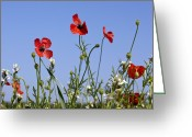Cornfield Greeting Cards - Rough Poppy (papaver Hybridum) Greeting Card by Bob Gibbons