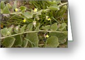 Cornfield Greeting Cards - Round-leaved Fluellen (kickxia Spuria) Greeting Card by Bob Gibbons