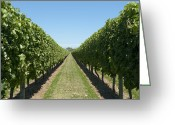 Horizontal Lines Greeting Cards - Row of Grapevines in Vineyard Greeting Card by Dave & Les Jacobs