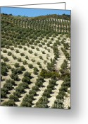 Cultivated Landscapes Greeting Cards - Rows of olive trees growing in the village of Baena Greeting Card by Sami Sarkis