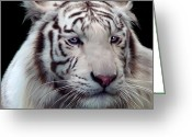 Siberian Tiger Greeting Cards - Royal Bengal White Tiger Greeting Card by Julie L Hoddinott