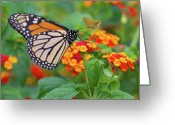 Harrisburg Greeting Cards - Royal Butterfly Greeting Card by Shelley Neff