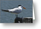 Tern Greeting Cards - Royal Tern Greeting Card by Robert Wise