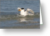 Tern Greeting Cards - Royal Tern takes a wash Greeting Card by Phil Stone