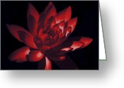Warm Looking Flower Greeting Cards - Ruby Of The Night Greeting Card by Debra     Vatalaro