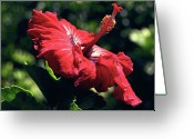 Kevin W .smith Greeting Cards - Ruby Red Hibiscus Greeting Card by Kevin Smith