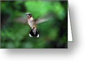 Wildlife Photos Greeting Cards - Ruby Greeting Card by Skip Willits