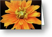 Orange Flower Photo Greeting Cards - Rudbeckia Petals Greeting Card by Gitpix