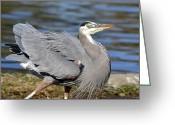 Blue Heron Photo Greeting Cards - Ruffled Greeting Card by Fraida Gutovich