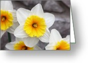 Photography Tk Designs Greeting Cards - Ruffly White And Yellow Dafodils Greeting Card by Tracie Kaska