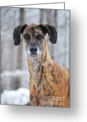 Winter Prints Greeting Cards - Rufus DaGoofus Great Dane Greeting Card by Lila Fisher-Wenzel