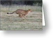 Acinonyx Greeting Cards - Running Cheetah in Namibia Greeting Card by Suzi Eszterhas