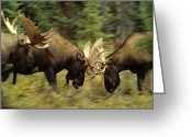 Moose Bull Greeting Cards - Rutting Bull Moose Fighting Greeting Card by Michael S. Quinton