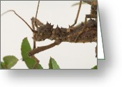 Sabah Greeting Cards - Sabah Stick Insects Aretaon Asperrimus Greeting Card by Joel Sartore