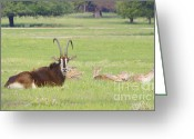 Curved Horns Greeting Cards - Sable Buck Greeting Card by Diana Cox