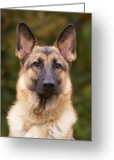 Alsatian Greeting Cards - Sable German Shepherd Dog Greeting Card by Sandy Keeton