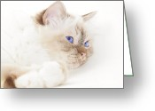 Blue Eyes Greeting Cards - Sacred Cat of Burma Greeting Card by Melanie Viola