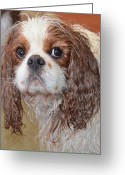Bath Time Greeting Cards - Sad after bath Greeting Card by Linda Larson