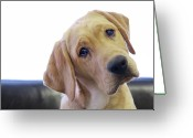 Yellow Labrador Retriever Greeting Cards - Sad Looking Yellow Lab With Head Tilted On Chair Greeting Card by Back in the Pack dog portraits
