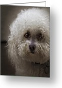 Bichon Greeting Cards - Sad Greeting Card by Lynn Andrews