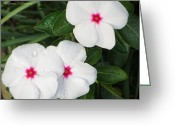 Vinca Flowers Greeting Cards - Sadaphuli - Always Flowering Greeting Card by Sonali Gangane