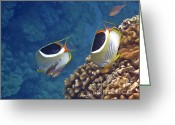 Tropical Fish Greeting Cards - Saddleback Butterflyfish Greeting Card by Bette Phelan