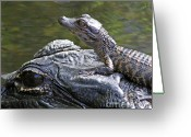 Florida Swamp Greeting Cards - Safest Lookout In The Swamp Greeting Card by LaMarre Labadie