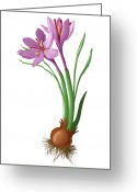 Cuisine Artwork Greeting Cards - Saffron Flowers And Bulb Greeting Card by Jose Antonio PeÑas