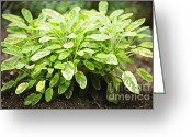 Spice Photo Greeting Cards - Sage plant Greeting Card by Elena Elisseeva