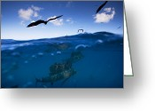 Frigate Greeting Cards - Sailfish And Frigate Birds Hunt Greeting Card by Paul Nicklen