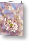 Blossom Greeting Cards - Sakura, Pink Cherry Blossom Tree Greeting Card by Bonita Cooke