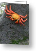 Chromatic Greeting Cards - Sally Lightfoot Crab, Grapsus Grapsus Greeting Card by Tim Laman
