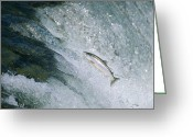 Animal Life Cycles Greeting Cards - Salmon Make The Difficult Trip Greeting Card by Joel Sartore