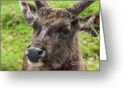 Safari Greeting Cards - Sambar Deer. Horton Plains National Park. Sri Lanka Greeting Card by Jenny Rainbow