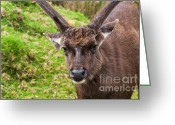 Horns Greeting Cards - Sambar Deer VII. Horton Plains National Park. Sri Lanka Greeting Card by Jenny Rainbow
