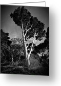 Matthew Trimble Greeting Cards - San Francisco Tree Greeting Card by Matt  Trimble