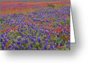 Texas Bluebonnet Greeting Cards - Sand Bluebonnet And Paintbrush Greeting Card by Tim Fitzharris
