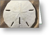 Sea Creature Greeting Cards - Sand Dollar Greeting Card by Mike McGlothlen