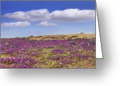 Cumulus Cloud Greeting Cards - Sand Verbena Carpeting The Ground Greeting Card by Tim Fitzharris