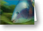 Refuges Greeting Cards - Sandagers Wrasse Attract Divers To Poor Greeting Card by Brian J. Skerry