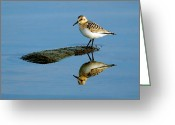 Migrant Greeting Cards - Sanderling Reflecting Greeting Card by Tony Beck