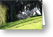 Cranes In Florida Greeting Cards - Sandhill Crane Landing 3 Greeting Card by Carol Groenen
