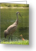 Sandhill Crane Greeting Cards - Sandhill Crane with Baby Chick Greeting Card by Carol Groenen