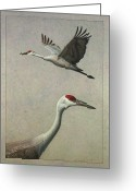 Wildlife Drawings Greeting Cards - Sandhill Cranes Greeting Card by James W Johnson