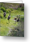 Sandhill Crane Greeting Cards - Sandhill Family by the Pond Greeting Card by Carol Groenen