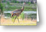 Sandhill Crane Greeting Cards - Sandhill in the Sunshine Greeting Card by Carol Groenen