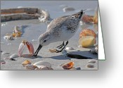 Sandpiper Greeting Cards - Sandpiper Greeting Card by Alan Lenk