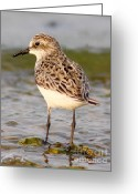 Sandpiper Greeting Cards - Sandpiper Portrait Greeting Card by Robert Frederick