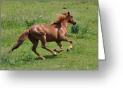 Equine Greeting Cards - Sandy the Roan Running Up Hill - c3024a Greeting Card by Paul Lyndon Phillips
